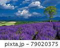 北海道・美瑛町 初夏の花畑の風景 79020375