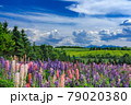 北海道・上富良野町 初夏の花畑の風景 79020380