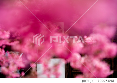 京都市左京区長徳寺のおかめ桜を撮影 79025698