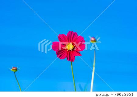 秋桜 秋の花 【長野県】 79025951