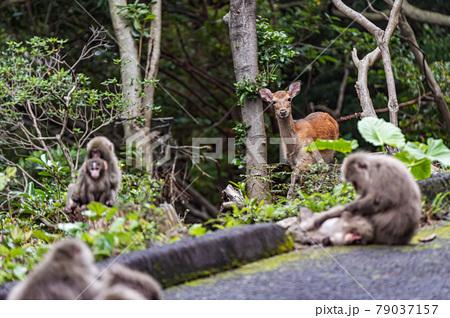 緑の回廊でくつろぐヤクシカとヤクザル。世界自然遺産屋久島 79037157