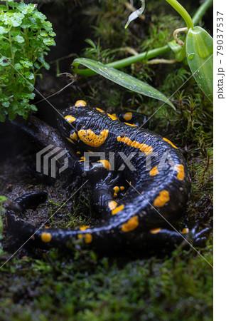 マダラファイアサラマンダー 有毒生物 79037537