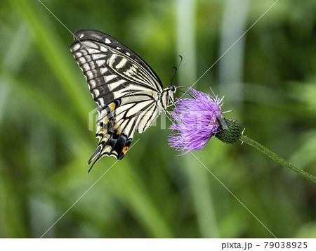 アザミの花にとまるアゲハチョウ 79038925