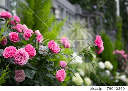 バラの花 レオナルド・ダ・ビンチ 79040860