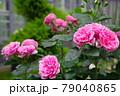 バラの花 レオナルド・ダ・ビンチ 79040865