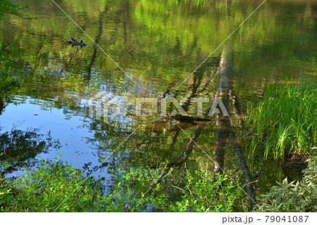 初夏の戦場ヶ原を流れる湯川の水面に映る新緑の森 79041087