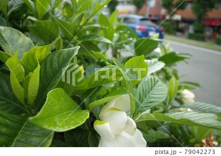 車の通る道路のわきに咲くクチナシの花 79042273