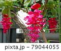 熱帯の宝石 メディニラ・マグニフィカ 79044055