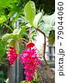 熱帯の宝石 メディニラ・マグニフィカ 79044060