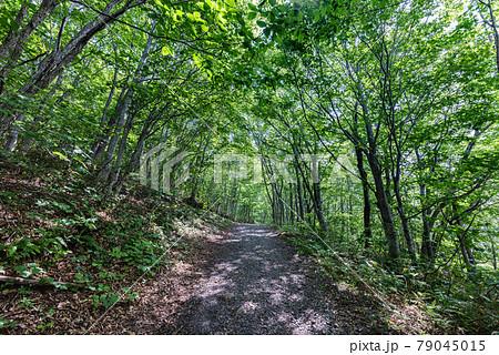栗駒山世界谷地新緑の木立に囲まれた木漏れ日のトンネルの登山道 79045015