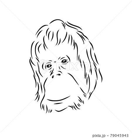 Vector illustration. Hand drawn realistic sketch of an ape, orangutan 79045943