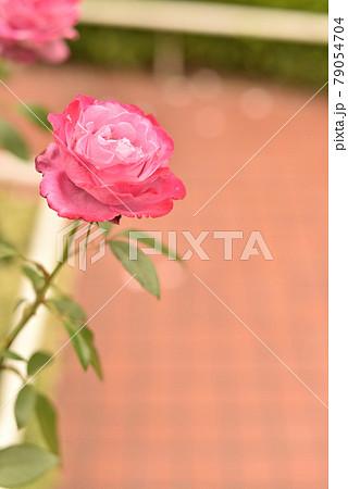 様々な種類のバラ(ブルーリバー2) 79054704