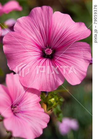 ピンクの花(ハナアオイ) 79059376