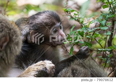 好奇心旺盛なヤクザルの子。世界自然遺産屋久島の森(6月) 79078612