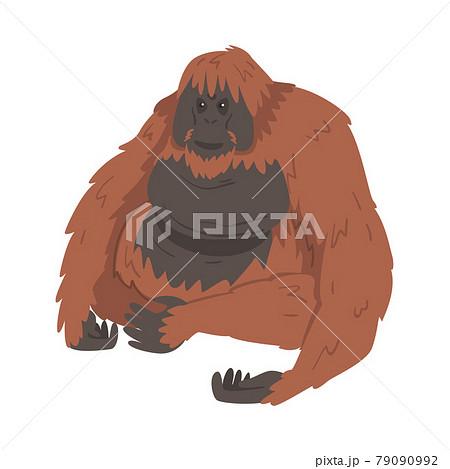 Orangutan Monkey as Arboreal Great Ape with Long Arms Vector Illustration 79090992