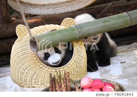 籠に入って安心の赤ちゃん灰色パンダ 79091843