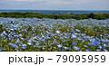 ネモフィラ 79095959