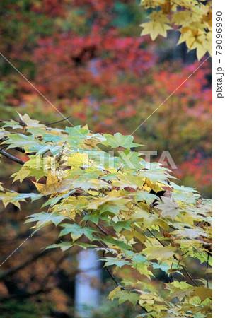 11月中旬 まだ紅葉していないカエデ 79096990