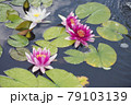 Pink and white Water Lily flowers 79103139