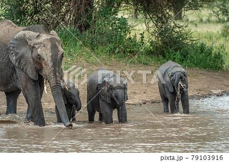 セレンゲティ国立公園のアフリカゾウの群れ 79103916