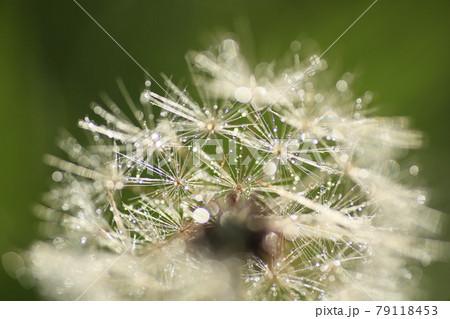草むらの秋景色 雨粒で輝くタンポポの綿毛 79118453