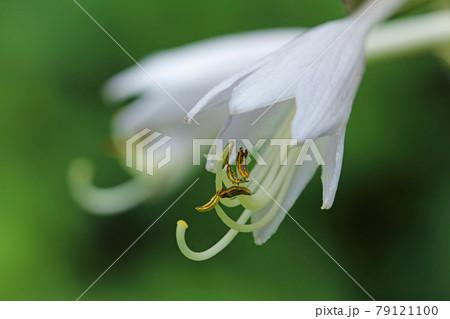 オオバギボウシの花のアップ 福島県只見町 79121100