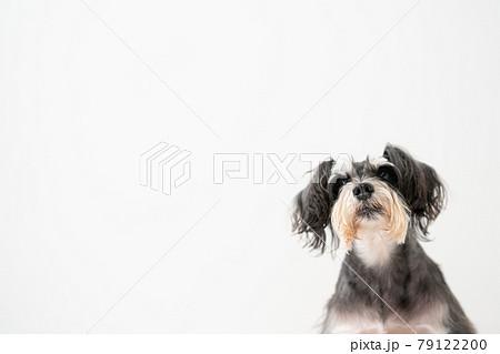 犬 ペット ミニチュアシュナウザー 79122200