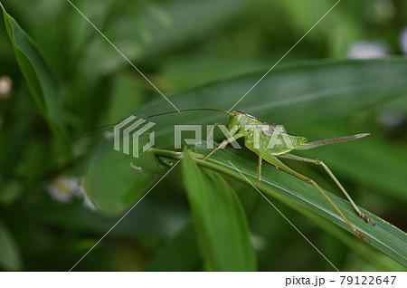 ヤブキリ雌の終齢幼虫 79122647