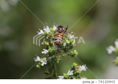 初夏の庭に咲くオレガノの花の蜜を吸うミツバチ 79130943