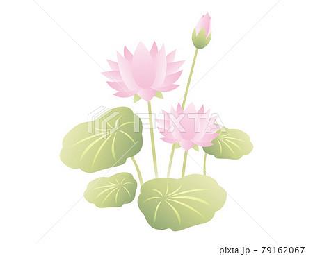 蓮の花のベクターイラスト 79162067