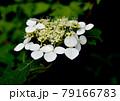 ひっそりと咲く山紫陽花 79166783