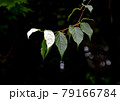 マタタビの葉の白化現象 79166784