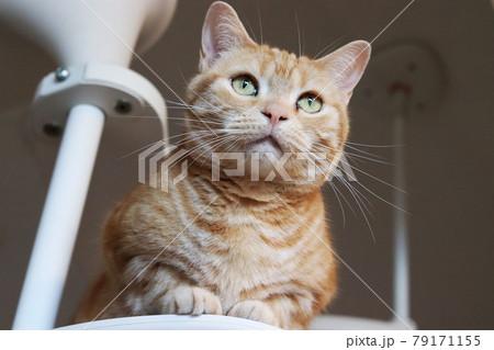 キャットタワーに君臨する凛々しい表情の猫アメリカンショートヘアレッドタビー 79171155