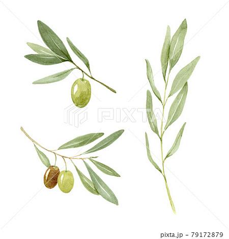 オリーブの葉とオリーブの実 水彩イラスト 79172879