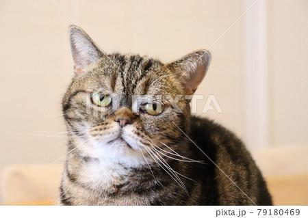 呆れた表情の鼻ぺちゃ猫アメリカンショートヘアブラウンタビー 79180469