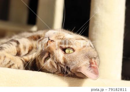 寝転んでキュートなポーズで寝るアメリカンショートヘアシルバーパッチドタビー 79182811