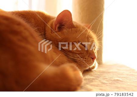 日差しに照らされる寝顔が美しい猫アメリカンショートヘアレッドタビー 79183542