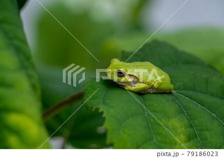 アジサイの葉の上で昼寝するカエル 79186023