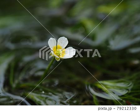 清流の梅花藻 79212330