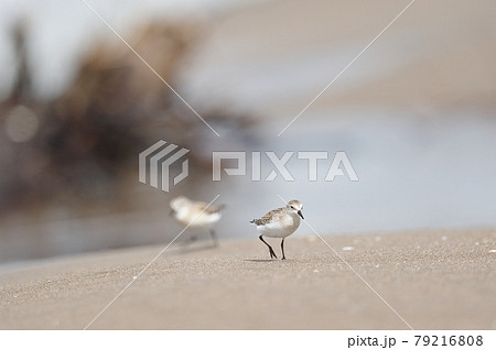 海岸の浜辺を歩くトウネンの群れ(北海道) 79216808