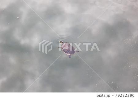 池に浮かんでいるアカミミガメと曇り空のリフレクション 79222290