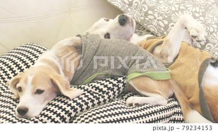 クッションでリラックスのビーグル犬2匹 79234153