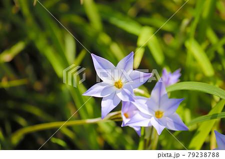 花ニラ02 79238788