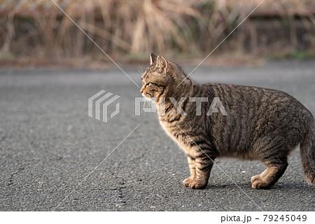 可愛い猫 79245049