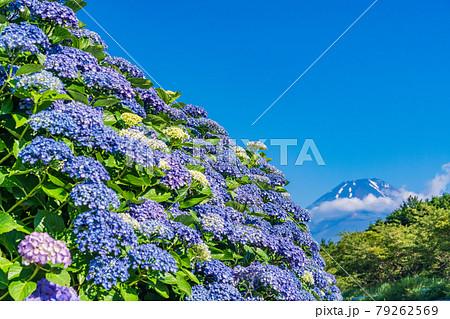 (静岡県)梅雨の晴れ間、アジサイと富士山 79262569