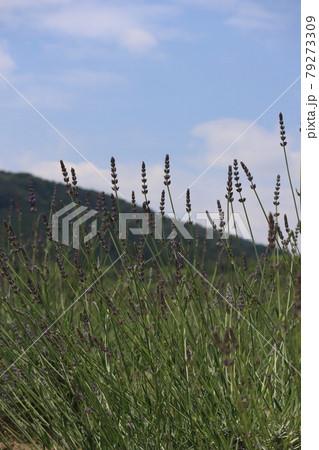 山をバックにした紫色のラベンダーの花畑 79273309