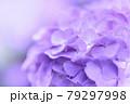淡い紫のあじさい 79297998