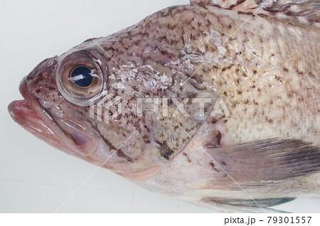 タヌキメバル キツネメバルに似るが別種 食味が良い魚 79301557
