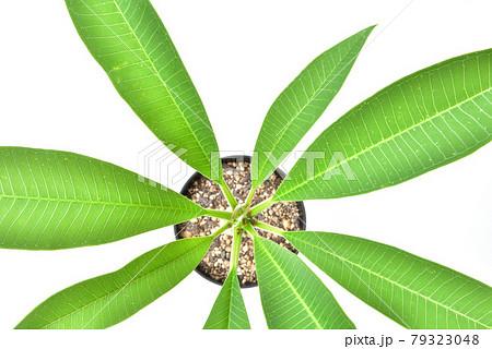 プルメリアの若木 プルメリア 熱帯花木 レイの花 密かなブーム   79323048