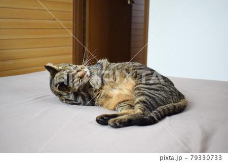 お部屋のベッドで毛づくろいするキジトラ猫 79330733